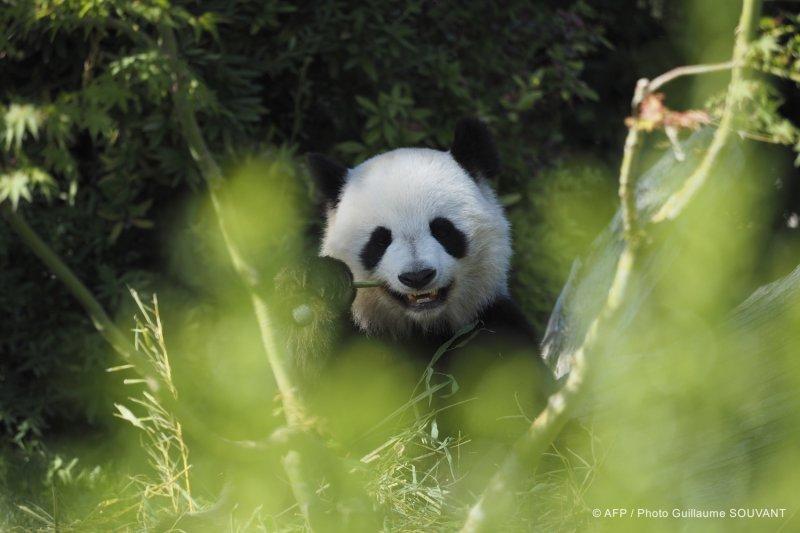 FRANCE-ANIMAL-ZOO-CHINA-PANDA