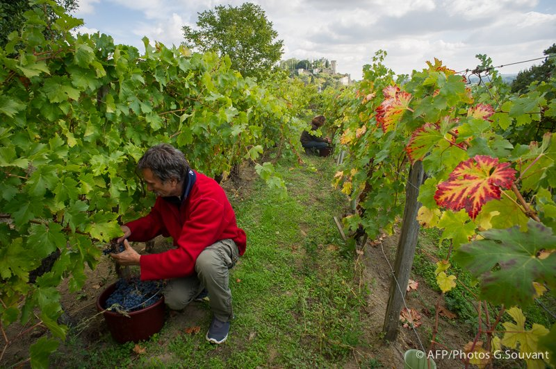 FRANCE - HARVEST - CHINON