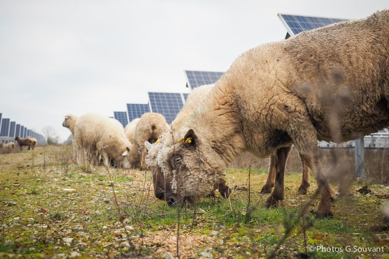 FRANCE, Allonnes : Sheeps are pictured as the french Minister for the Ecological and Inclusive Transition Nicolas Hulot visits a photovoltaic parc on January 08, 2018 in Allonnes, western France. PHOTO / GUILLAUME SOUVANT/SIPA