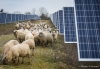 FRANCE, Allonnes : Sheeps are pictured inside a photovoltaic parc on January 08, 2018 in Allonnes, western France. PHOTO / GUILLAUME SOUVANT/SIPA