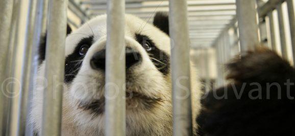 Panda Echographie à Beauval