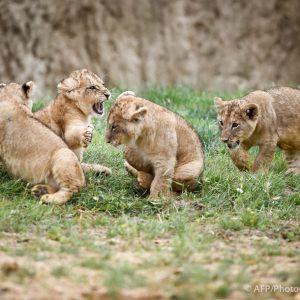 4 lionceaux à Beauval