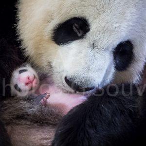 Le Bébé Panda du Zooparc de Beauval